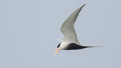 The elegance of terns in flight, like this Black-bellied, is undeniable. This species is widespread in India and Bangladesh but often difficult to find elsewhere. Photo by guide Tom Johnson.