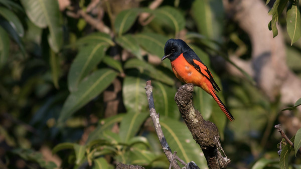 The largest and longest-billed of the minivets found in India, Scarlet Minivet is found in the Himalayas and central/eastern parts of the subcontinent. Minivets are now included in the family Campephagidae, with cuckooshrikes, placed after vireos and before the enigmatic Mottled Berryhunter (family Rhagologidae) of New Guinea. Photo by guide Tom Johnson.