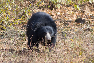 Sloth Bears are endemic to the Indian Subcontinent. These insectivorous bears are named for their long, sickle-shaped claws; their long lower lip and palate are also adaptations to eating terrestrial insects. The species is listed as Vulnerable, primarily because of habitat loss. Photo by guide Tom Johnson.