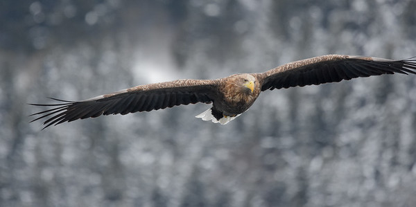We soar into our next set of images from Winter Japan: Cranes & Sea Eagles, led by this White-tailed Eagle. Photo by participant Becky Hansen.