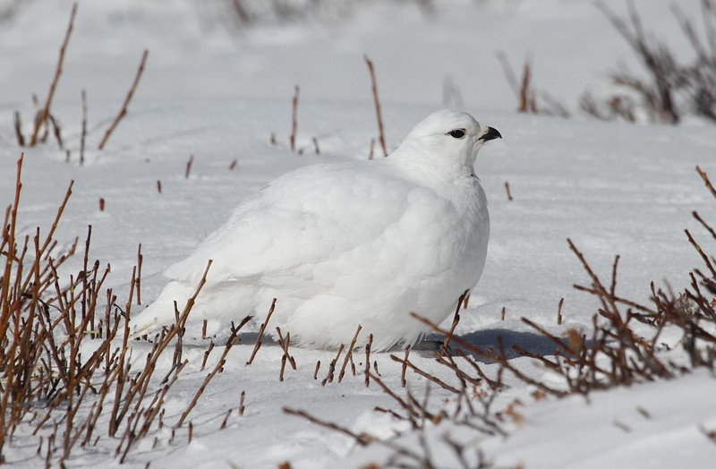 Well, the elegant White-tailed Ptarmigan, of course, and this year did not disappoint! This and previous photo by participant Chris DeCilio.