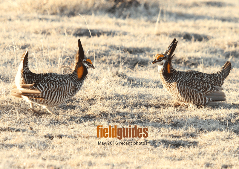 We begin with a spring ritual at Field Guides: Colorado in April! Here two Greater Prairie-Chickens square off at a lek in a great photo by participant Chris DeCilio.