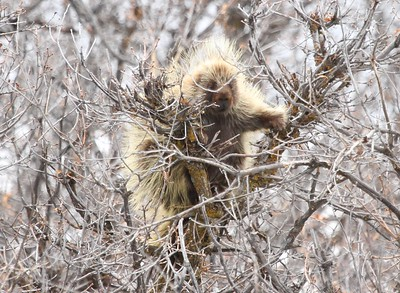 There are some cool mammals along the way. This Porcupine looks as if it stuck its finger in a socket! Photo by participant Chris DeCilio.