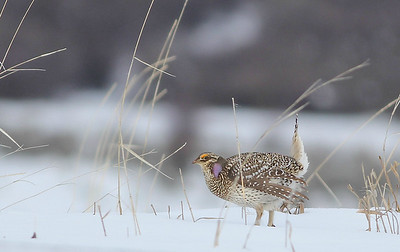 We wrap up images from our two Colorado Grouse tours with this Sharp-tailed Grouse, flashing lavender air sacs during its wind-up-toy display. Photo by guide Eric Hynes.