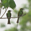Green Bee-eaters of the race viridissimus hanging out at Tono Dam. Photo by guide Phil Gregory.