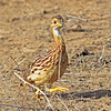 This White-throated Francolin was making tracks -- and offered a very fine view for our group. Photo by participant Greg Griffith.