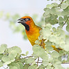 A variation on the African weaver theme: Black necked, photographed by participant Greg Griffith.
