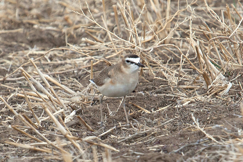 We have numerous non-grouse or prairie-chicken targets while out on the plains, including this subtle beauty: Mountain Plover. Photo by participant Steve Wakeham.