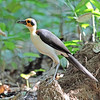 """Ghana's other marquee bird? The amazing (and cave-nesting) White-necked Rockfowl, or Picathartes, of course. """"Wow"""" looks this year! Photo by participant Greg Griffith."""