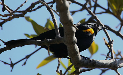 Yellow-shouldered Blackbirds are only found in the southwestern part of Puerto Rico and are critically endangered. Photo by participant Larry Wright.