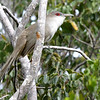 Great Lizard-Cuckoo is very large and routinely one of the favorites among participants and guide alike on our Bahamas tour. Photo by guide Jesse Fagan.