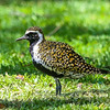 This Pacific Golden-Plover in Hawaii looks ready to head back to its arctic breeding grounds. Photo by participant Rick Woodruff.