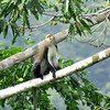 A Mona Monkey in an unusual pose at Kakum National Park. Photo by guide Phil Gregory.
