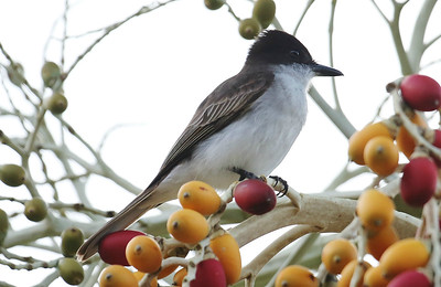 Loggerhead Kingbird is a Caribbean specialty, and Puerto Rico hosts a recognized subspecies. Photo by participant Larry Wright.