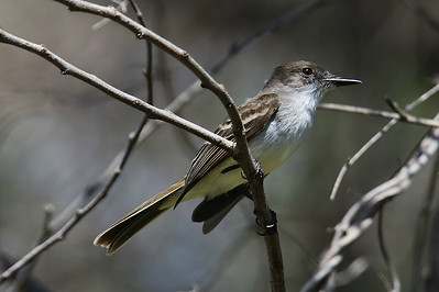 Puerto Rico has an endemic Myiarchus flycatcher and, as with many of the endemics, the island is in the name: Puerto Rican Flycatcher. Photo by participant Larry Wright.