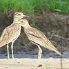 Senegal Thick-knee geometry at Ghana's Mole NP, photographed by guide Phil Gregory.