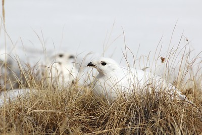 Apparently, White-tailed Ptarmigan are notorious for photobombing! Photo by guide Eric Hynes.