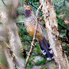 Spotted Laughingthrush can be tough to see well, but not this year! Photo by participant Johnny Powell.