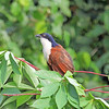 The attractive and large Blue-headed Coucal has a wide range from Ivory Coast to Ethiopia. Photo by participant Greg Griffith.