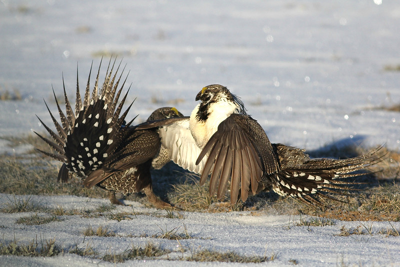 Occasionally males erupt into physical combat with shoving and wing slapping. Photo by guide Eric Hynes.