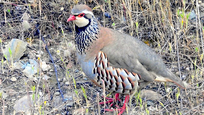 Red-legged Partridge, a southwestern Europe specialty, is another snazzy bird we saw. Photo by participant Chuck Holliday.