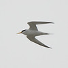 Least Terns nest in small numbers along Maine's sandy beaches, mostly in the southern part of the state. Photo by guide Cory Gregory.