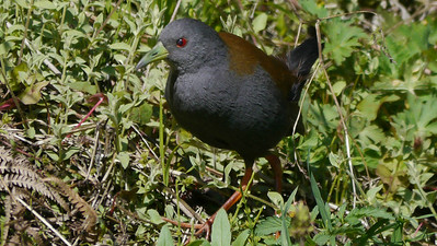We had some fabulous views of Black-tailed Crake near Paro, as this image by David & Judy Smith makes evident!