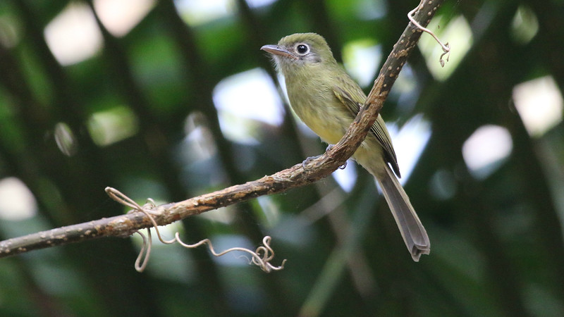 Big eyering, broad, flat bill: Eye-ringed Flatbill, of course! One of 25 flycatchers along the way in Belize. Photo by participant Tracey Bauder.