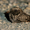 This Common Poorwill image, showing the wonderfully odd feathering, came in from Arizona II participant Oleg Gurvits.