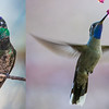 Here's another shot of a Blue-throat (r.) to compare with Magnificent Hummingbird (l.). Both images by participant Herb Fechter.