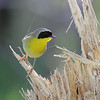 A lovely portrait of Common Yellowthroat by guide Eric Hynes.