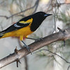 Scott's Oriole, the desert oriole, photographed by guide Dave Stejskal in Portal.