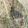 Careful watching and listening are always required to find Montezuma Quail...success here! Photo by guide Cory Gregory.