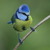 """Up next is our recent Ireland in Spring tour (one of our """"Birding Plus"""" itineraries), from which participant George Nixon brought home this brilliant image of a Blue Tit."""