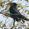 Rufous-necked Hornbill (this one a female) is a threatened species with a limited range. Photo by participants David & Judy Smith.
