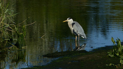 Gray Heron, here in a fine portrait by participant Sheran Clark, is the trans-Atlantic replacement for Great Blue Heron.