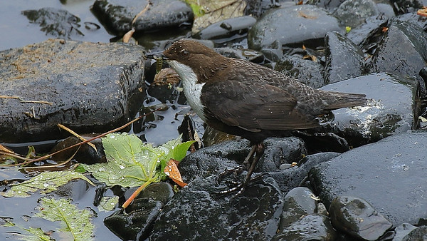 A drop-flecked White-throated Dipper with prey, photographed by participant George Nixon.