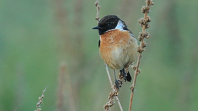 A male European Stonechat was among the small passerines found. Photo by participant George Nixon.