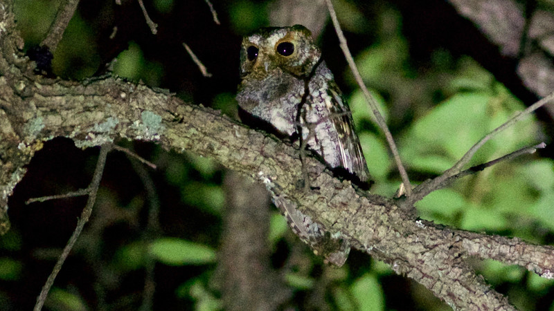 The small, insect-eating Flammulated Owl isn't always easy to detect or see well, but we had a fine view of this one! Photo by participant Ed Eder.