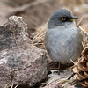 We don't even have to see the rest of the bird - -Yellow-eyed Junco! Photo by participant Joe Suchecki.