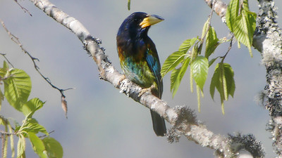 More widely distributed Asian species like Great Barbet add greatly to our Bhutan birding. Photo by participants David & Judy Smith.
