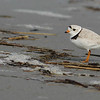 Piping Plover's another one of those sandy beach species along Maine's coast in small numbers. Portrait by guide Eric Hynes.