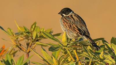 A male Reed Bunting glows in the morning light. Photo by participant George Nixon.
