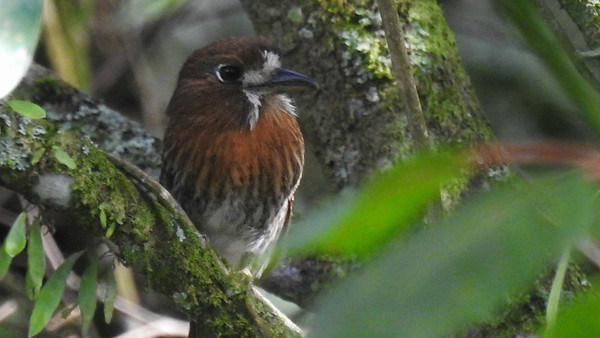 Guide Jesse Fagan caught this Moustached Puffbird lurking in the shadows.