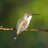 Mexican Sheartail yuc17 Cory Gregory