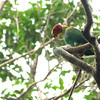 A green vulture? No, this fascinatingly odd bird is a Bald Parrot. Photo by guide Micah Riegner.