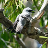 An incubating White-bellied Cuckooshrike wraps up our December gallery of recently received photos. Happy New Year from all of us at Field Guides, and we look forward to you joining us on one of our 150 adventures in 2018. Photo by guide Jay VanderGaast.