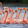 From Jamaica, we head to Mexico for a series of images from our Yucatan & Cozumel tour. Guide Cory Gregory shared this tangle of pink necks: American Flamingos.