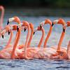 American Flamingo yuc17 Cory Gregory