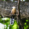 Anoles and other small reptiles beware, this Jamaican Lizard-Cuckoo is on the hunt. Photo by participant Maureen Phair.